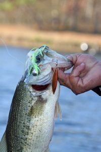 prespawn bass caught with a spinner bait